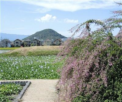 Motoyakushihagi