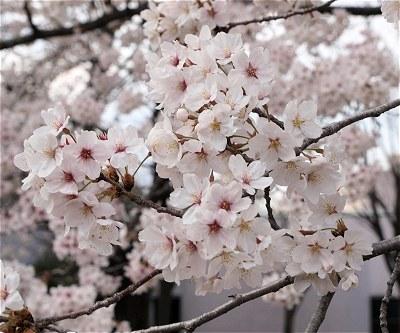Sakura20140402