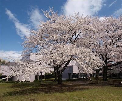 Sakura20140404a