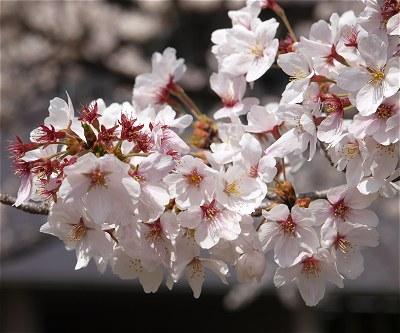 Sakura20140404b