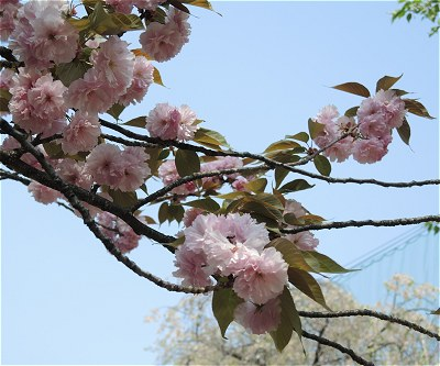 Sakura20140417