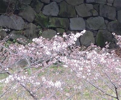 Tayasuzakura02
