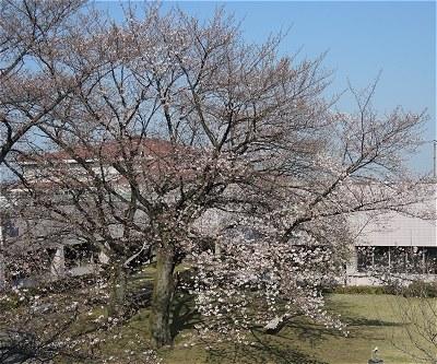 Sakura20170404a