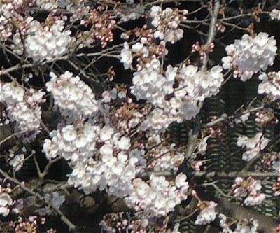Sakura20170404b