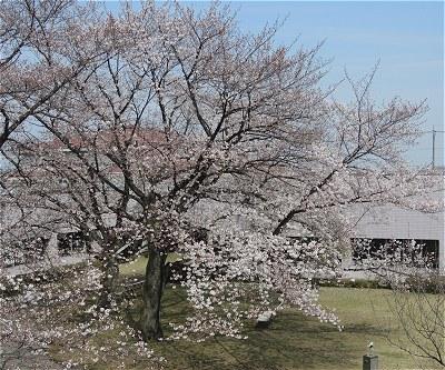 Sakura20170405a