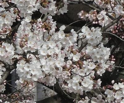 Sakura20170405b