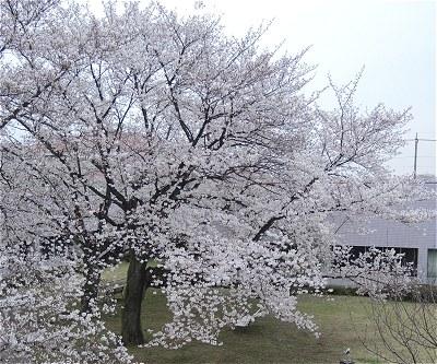 Sakura20170406