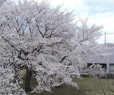 Sakura20170407a