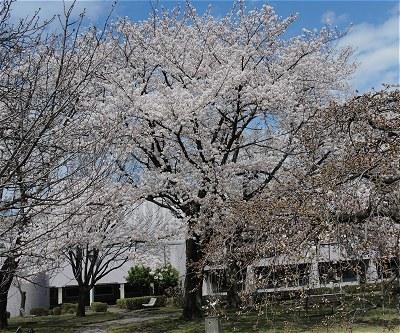 Sakura20170407b