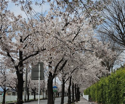 Sakura20170412a