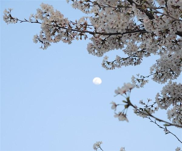 Sakura2018b