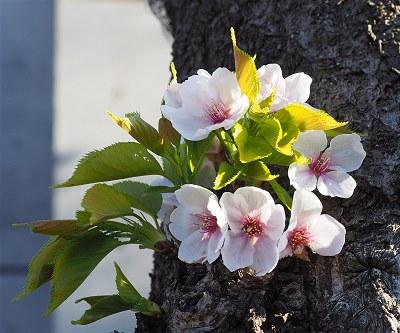 Sakura20190403c