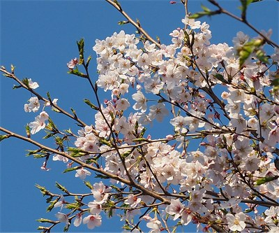 Sakura20190403d