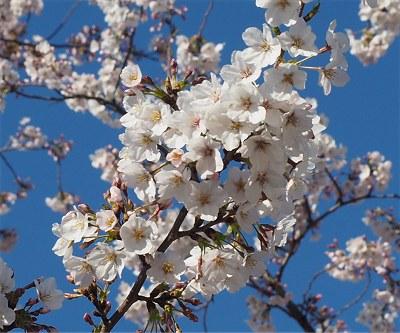 Sakura20190404b