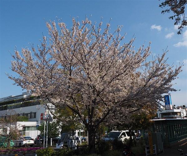 Sakura2020a