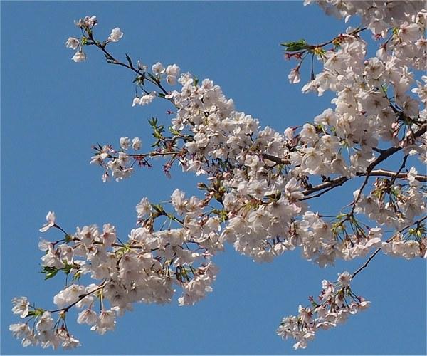 Sakura2020b