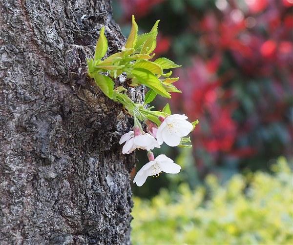 Sakura2020e